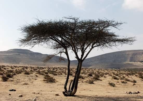 Desert Tree Growing by the Dead Sea