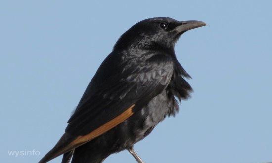 Tristram's starling - Indigenous to the Dead Sea Region