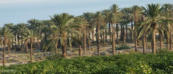 Ein Gedi Groves beside the Dead Sea