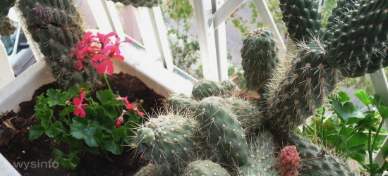 Cactuses against pigeons