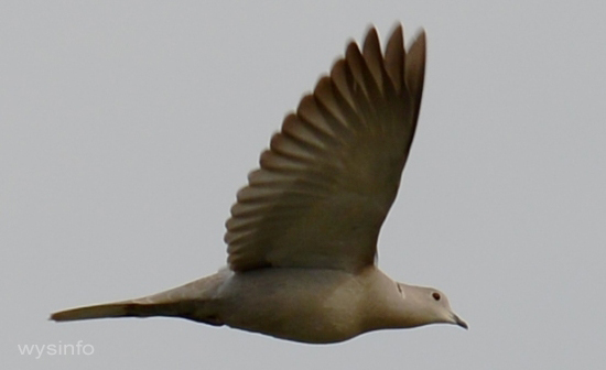 Ring-necked Dove Flying
