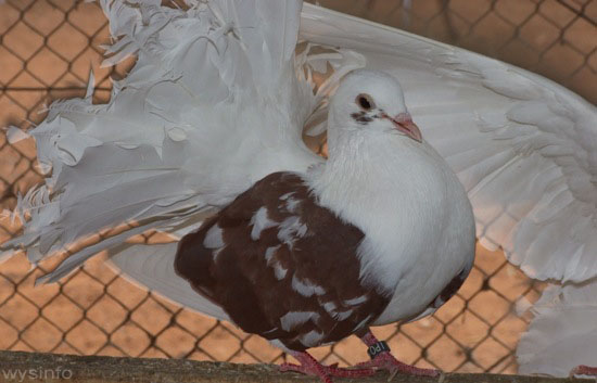 White and brown fantail pigeon