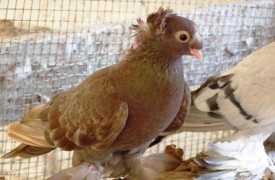 Romanian Tumbler - unique breeding of pigeons