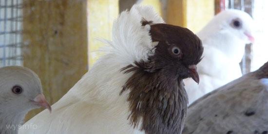 English Nun Pigeon breed