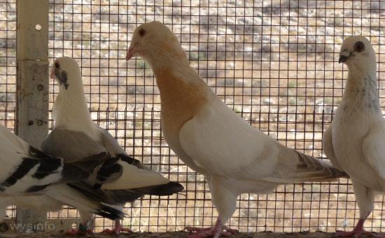 Basraer Wammentauben pigeon breeding