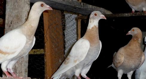 postal pigeons