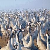 Cranes_in_hula_145_170_170