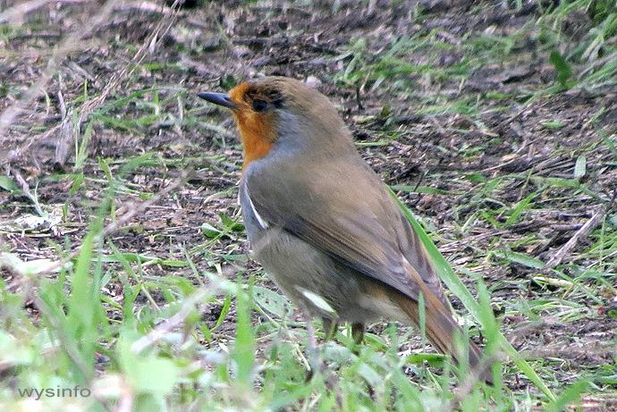 European Robin - songbird