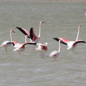 Flamingos_in_eilat_083_170_170