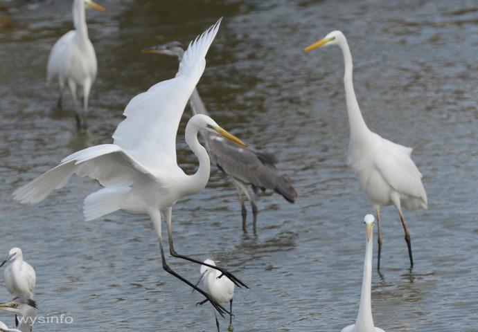 Great Egret - Landing in Water 2