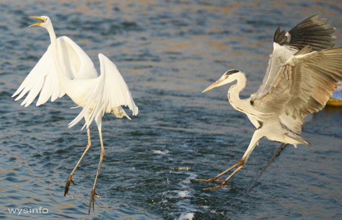 Great Egret and Grey Heron - Landing in Water 1