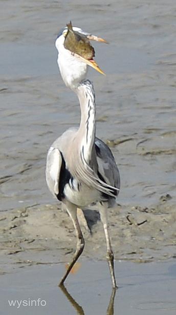 Grey Heron in Fish Pond - Maagan Michael