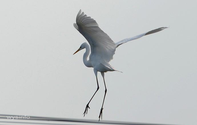 Great Egret - Landing 2