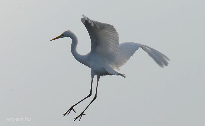 Great Egret - Landing 1