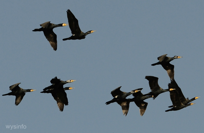 Flock of Cormorants flying south
