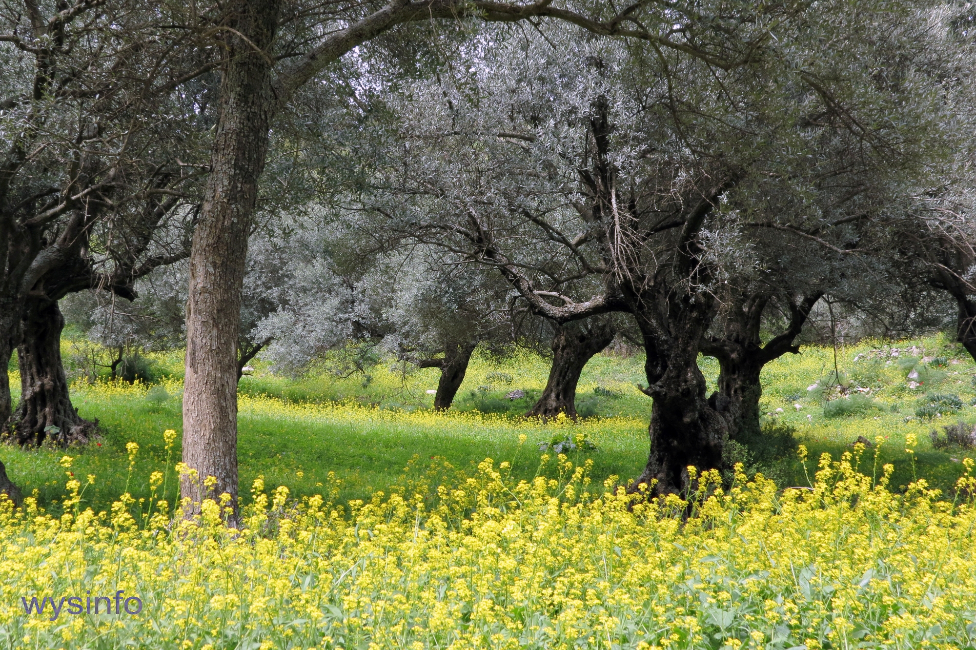 Olive trees in Rosh-Pina