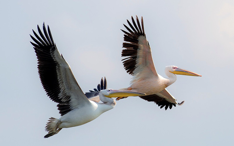 Migratory Birds - Pelicans following eastern shore of the Mediterranean