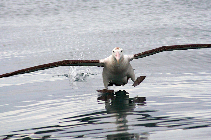 Antipodean Albatross Landing