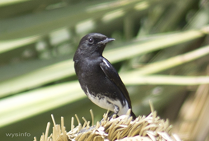 Pied bush chat (Male-Black)