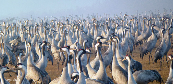 Cranes in Hula Valley