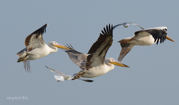 Flock of Pelicans Flying Along the Mediterranean Coast