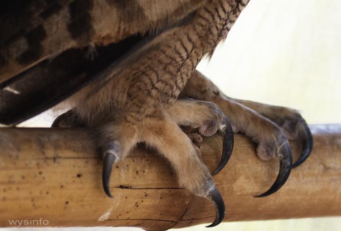 Talons of Eagle Owl