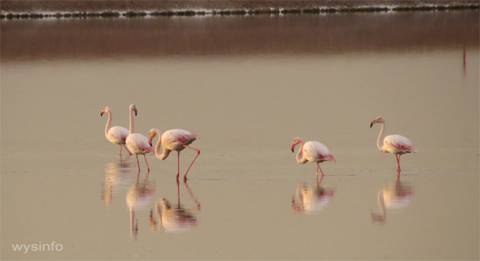 Flamingos Looking for Food