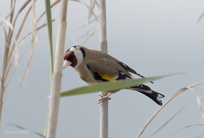 Goldfinch - small passerine