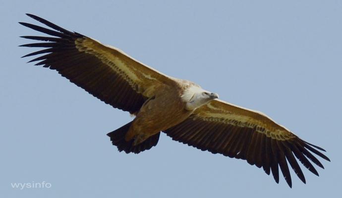 Griffon Vulture in Gamla