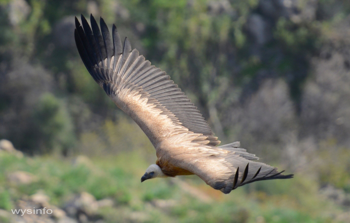 Griffon Vulture in Gamla Nature Reserve