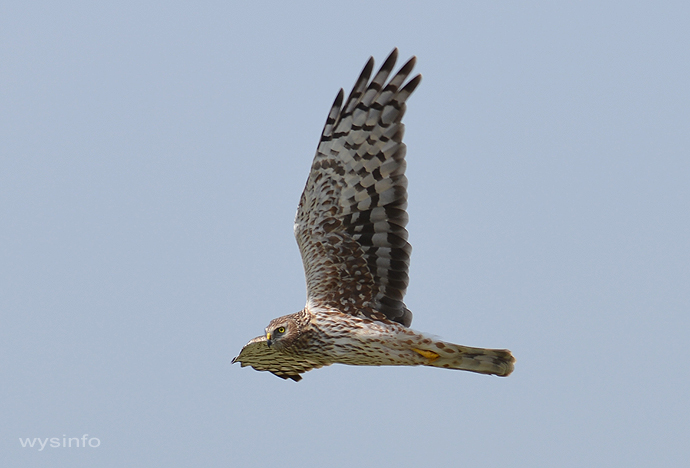 Hen-Harrier, flying over Gamla
