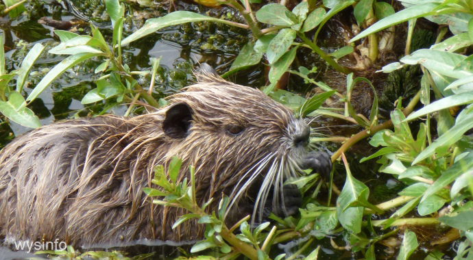 River Rat in the Swamps of Hula Valley