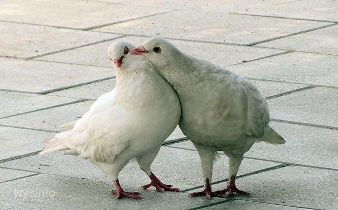 Pheromones and doves