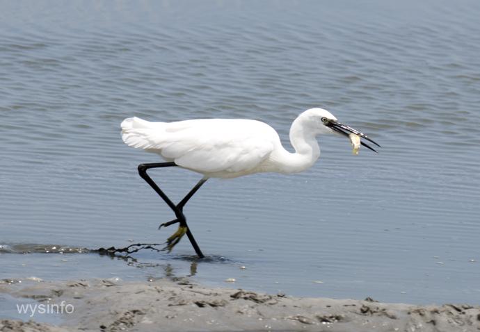 Little Egret - migratory water bird