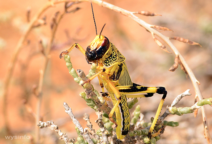 Young Locust in the Northern Negev