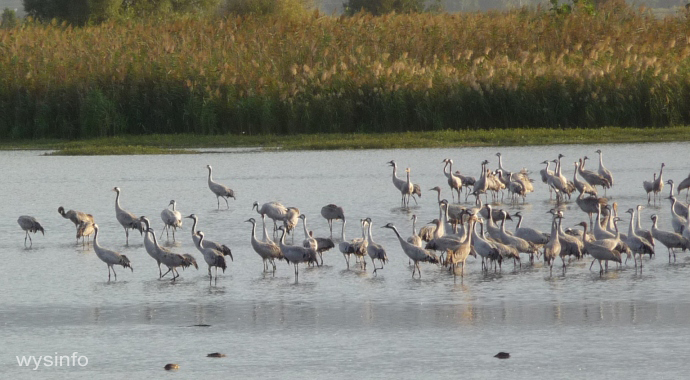 Cranes in the Early Morning in the Hula Valley Reserve