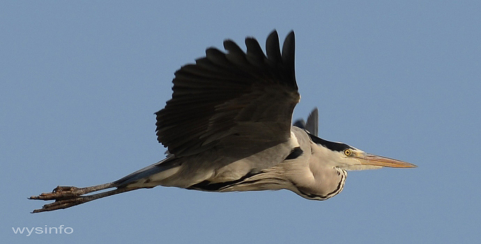 Grey Heron Flying Over Maagan Michael, Israel