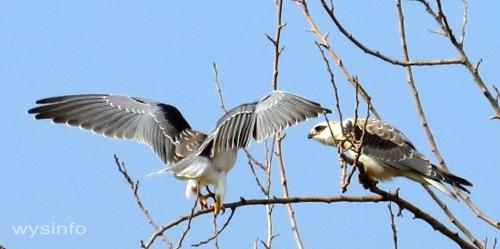 Black-Winged-Kite