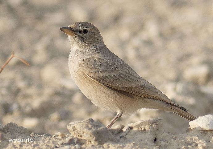 Desert Lark - small migratory bird