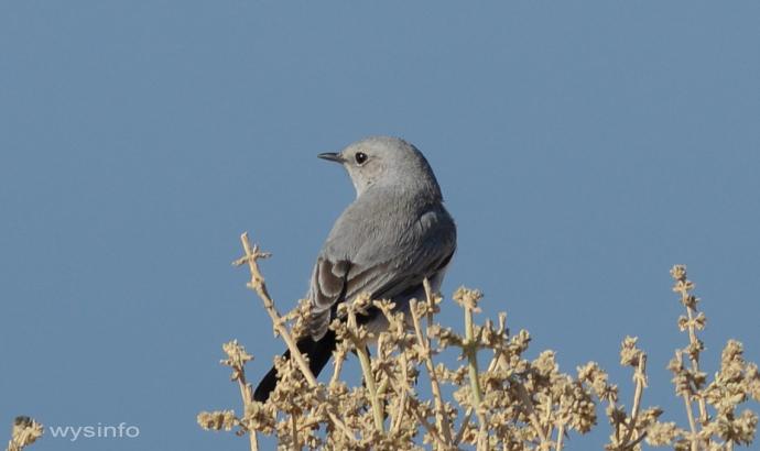 Blackstart - small passerine
