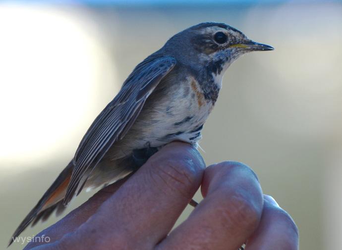 Female Bluethroat