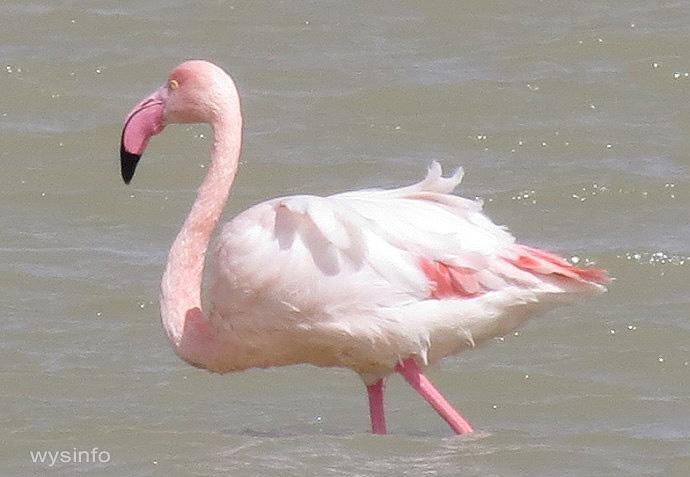 Flamingo in Eilat Salt Ponds