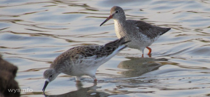 Ruff and Red Shank