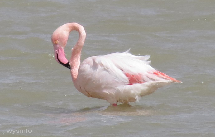 Flamingo Cleaning Neck Feathers