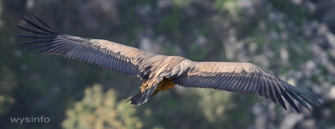 Griffon Vulture - Using Soaring and Gliding Flight Techniques Alternately