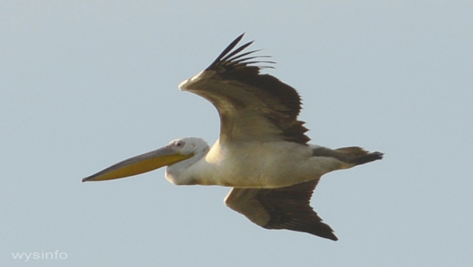 Pelican - Gliding Flight Technique