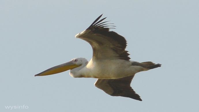 Pelican - Gliding Flight Technique