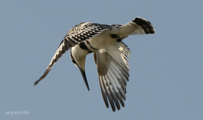 Pied Kingfisher - Hovering Flight Technique