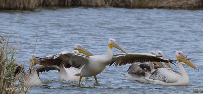 Pelicans - Taking Off in Water 1
