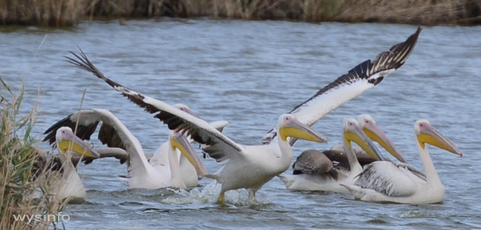Pelicans - Taking Off in Water 2